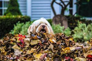 je culmine sur le tas de feuilles