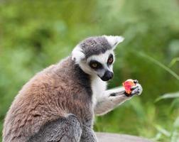lémurien à queue anneau