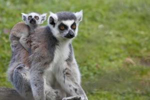 Mère de lémurien à queue anneau avec bébé