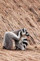 lémur catta photo