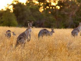 kangourou sur prairie sèche photo
