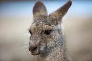 coup de tête de kangourou photo