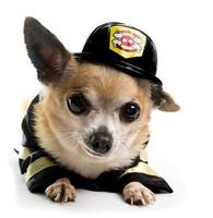 pompier chihuahau photo