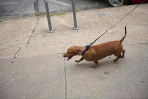 teckel (chien wiener) en laisse