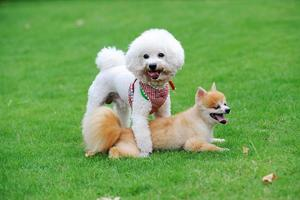 Bichon frisé et chiens de Poméranie