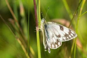 papillon blanc occidental photo