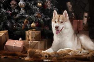 race de chien husky sibérien, portrait chien sur un studio couleur