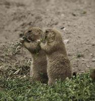 Deux chiens de prairie à queue noire mangeant