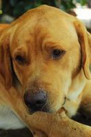 chiens labrador. photo