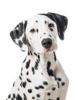 portrait de chien dalmatien