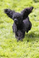 caniche dans une course de chiens photo