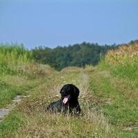 Hund plat enduit retriever