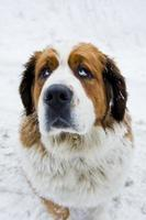 chien saint bernard photo