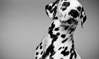 chiot dalmatien