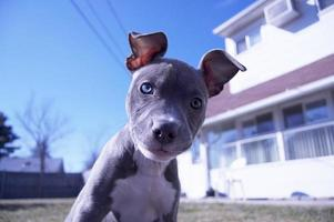chiot pitbull photo