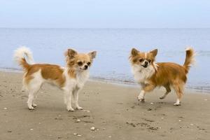 chihuahuas sur la plage photo