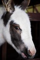 tête d'âne photo