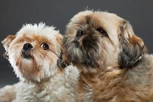 deux chiens shih tzu isolés sur fond gris. tourné en studio.