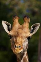 girafe bébé photo