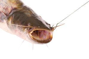 poisson-chat sur le crochet (détourage) photo