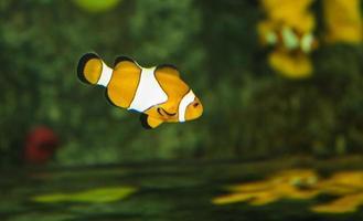 eau salée tropicale, poisson clown, poisson clown photo