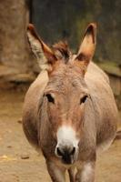gros âne photo