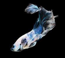 poisson betta, poisson combattant siamois, betta splendens (halfmoon bet