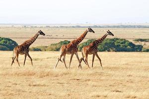 girafes masai mara photo