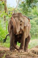 éléphants sauvages en thaïlande parc national de chiang mai.