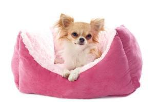 chihuahua et lit pour chien photo