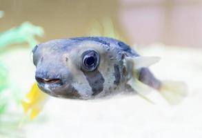poisson-globe géant, galapagos photo