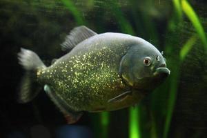 piranha à ventre rouge (pygocentrus nattereri) photo