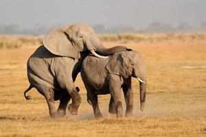 l'accouplement des éléphants d'Afrique