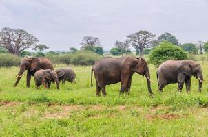 Famille d'éléphants de cinq personnes dans le parc de Tarangire, Tanzanie photo