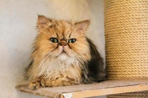 mignon chat persan doré photo