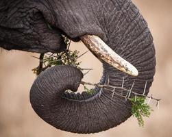 trompe d'éléphant et défenses d'ivoire photo