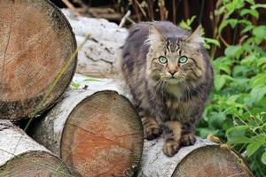 jeune chat des forêts norvégiennes photo