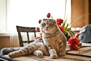 chat de pli écossais photo