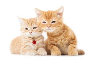 Deux petits chats british shorthair au gingembre sur fond blanc photo