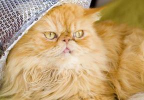 chat persan rouge avec chapeau photo