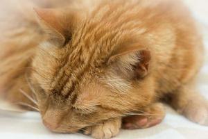 chat roux dort photo