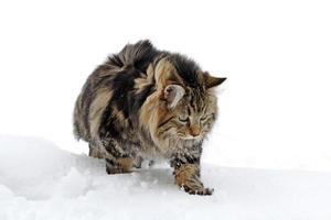 chat en hiver photo
