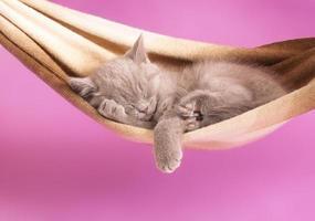 chaton britannique endormi photo