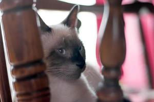 chat de chocolat birman regardant dans la caméra photo
