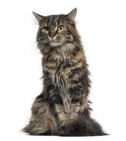 Maine coon chaton assis (4 mois) photo
