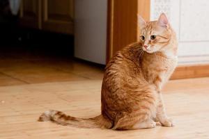 chat tigré au gingembre photo