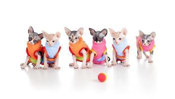 six chatons chauves drôles avec une couvée de sphynx canadien photo