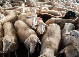 élevage de moutons photo