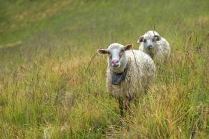 des moutons