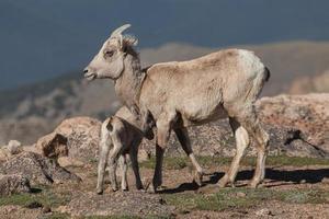 brebis et agneau de mouflon photo